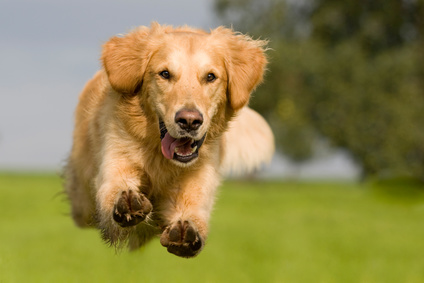 Golden Retriever springt ber grne Wiese