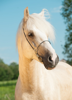 portrait of palomino welsh cob